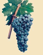 Cabernet Sauvignon - Bulgarian Wine