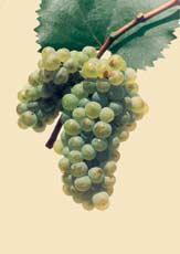 CHARDONNAY - Bulgarian Wine