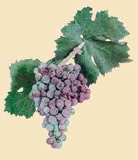 Misket (red wine) - Bulgarian Wine