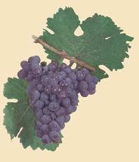 TRAMINER - Bulgarian Wine