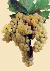 UGNI BLANC - Bulgarian Wine